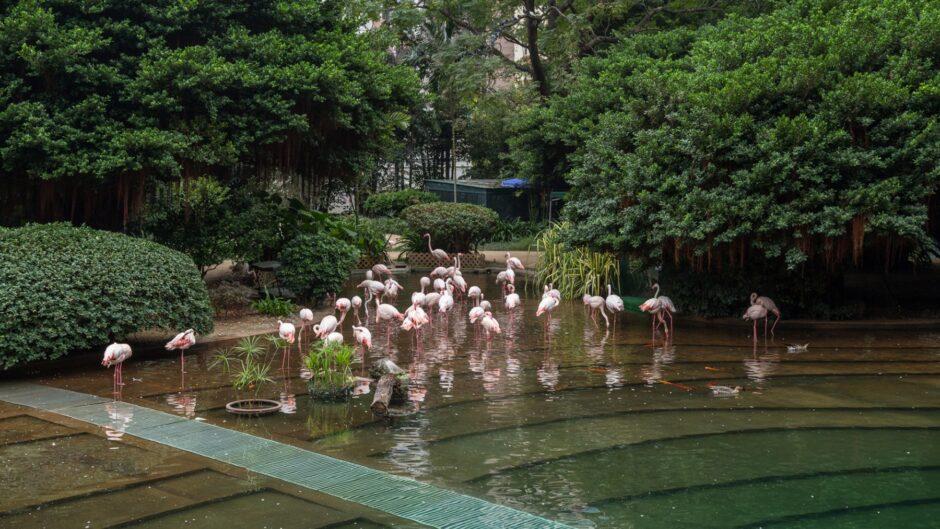 Flamingo di Kowloon Park